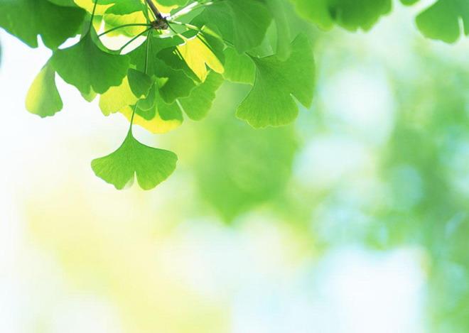 绿色ppt背景 绿色银杏叶植物ppt背景图片